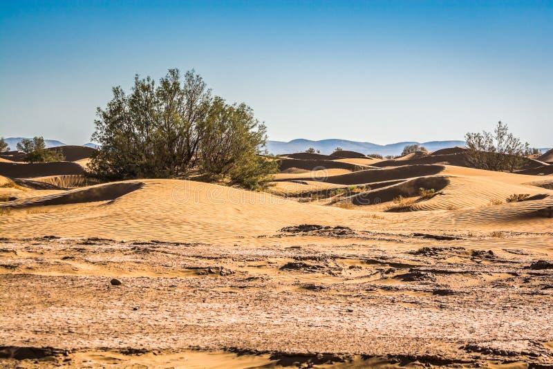 Flora no deserto de Sahara no ERG Chigaga entre dunas de areia fotografia de stock