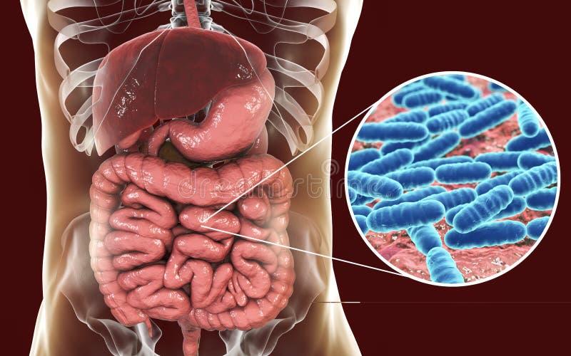 Flora normal del intestino delgado, lactobacilo de las bacterias ilustración del vector
