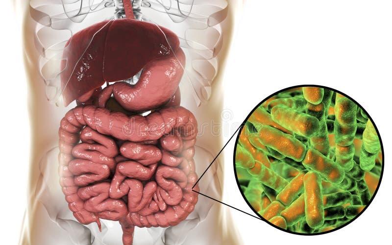 Flora normal del intestino grueso, bacterias Bidifobacterium stock de ilustración