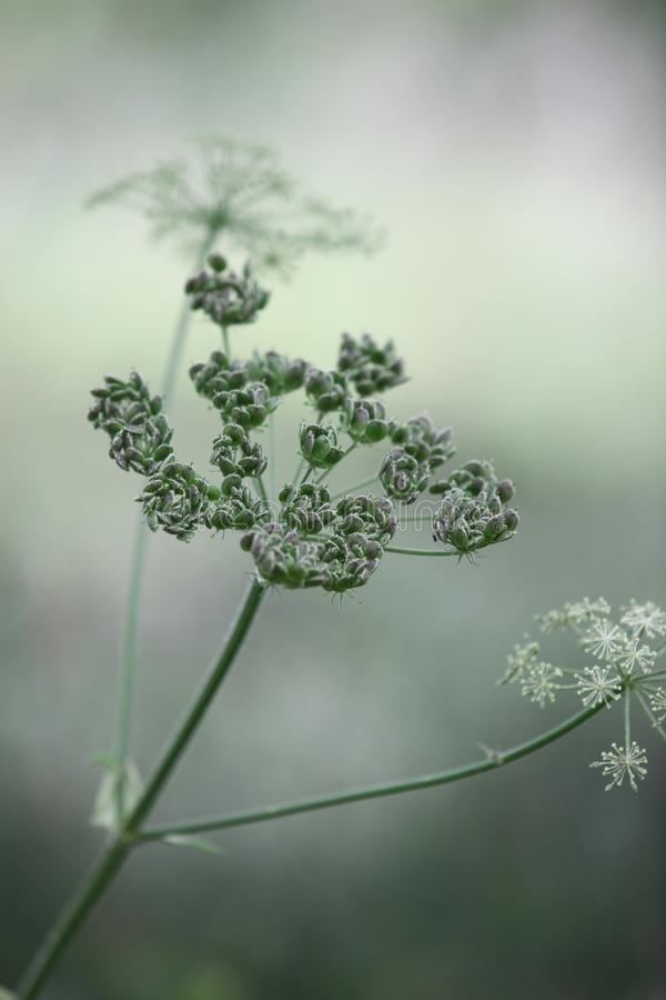 Flora, Plant, Vegetation, Cow Parsley royalty free stock images
