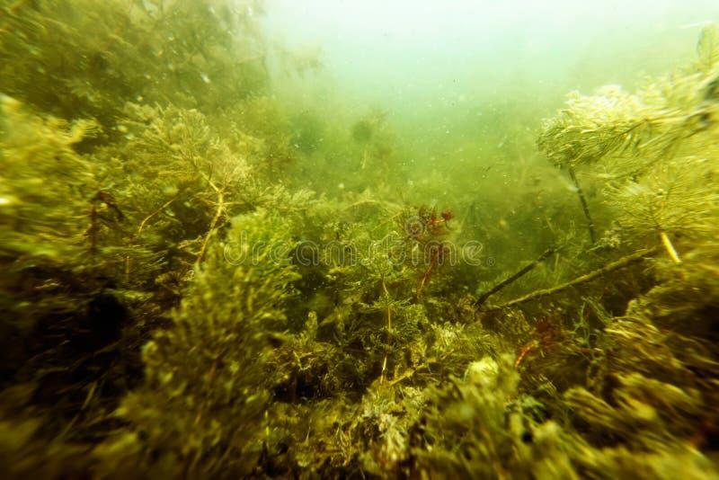 Flora Rivers de ?gua doce subaqu?tica, lagos, lagoa, flora subaqu?tica foto de stock royalty free