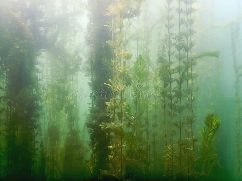 Flora subaquática Rios subaquáticos das plantas, lagos, lagoa imagem de stock