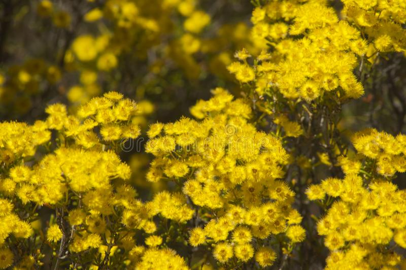 Flora sulla traccia di Gnamma, Hyden, WA, Australia immagine stock libera da diritti