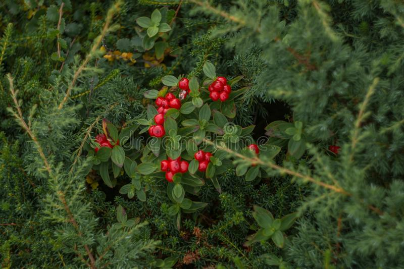 Northern red berries on a green natural background. royalty free stock photos