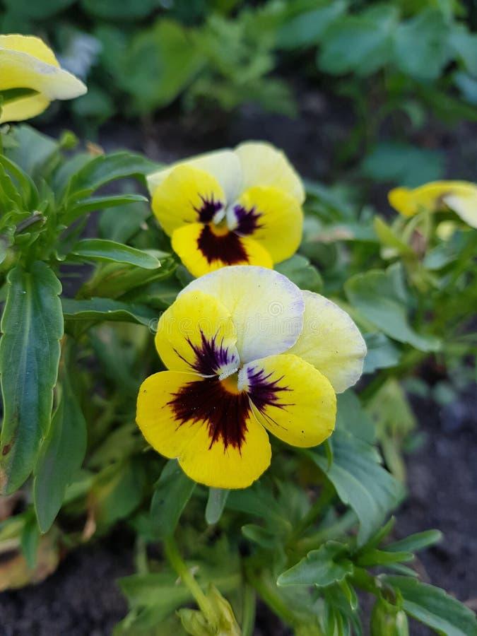 Flora Ukrainy Nezhny en liten blomma av gul färg med en mörk violett mitt, rund lisestkami Sidor Vokrug för grön växt fotografering för bildbyråer