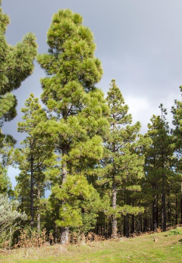 Flora von Gran Canaria - kanarische Kiefern lizenzfreies stockfoto
