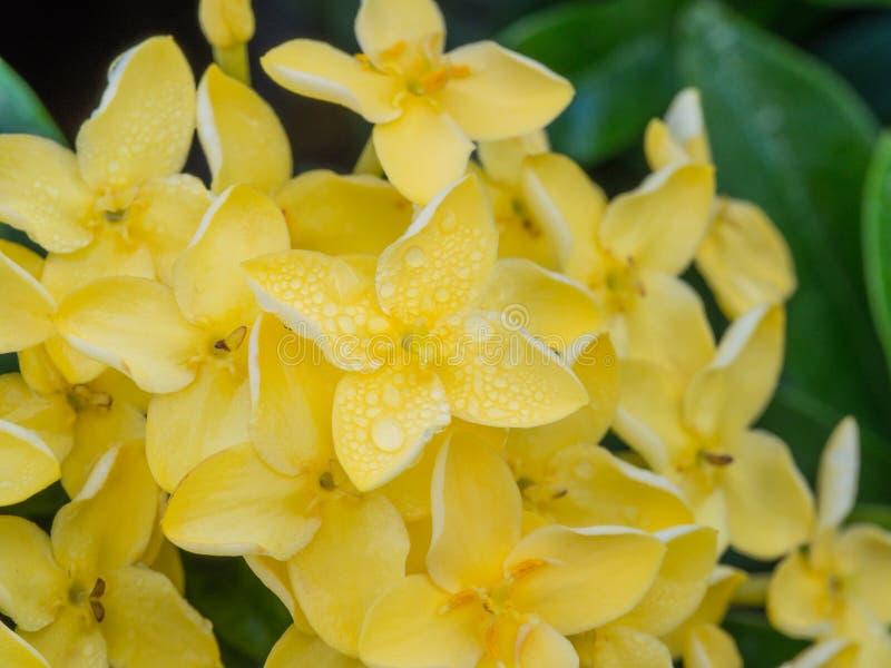 Floración amarilla de Ixora foto de archivo