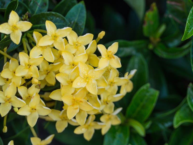 Floración amarilla de Ixora imagen de archivo libre de regalías
