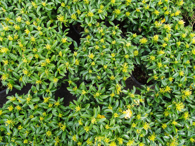 Floración amarilla de las flores de Ixora imagenes de archivo