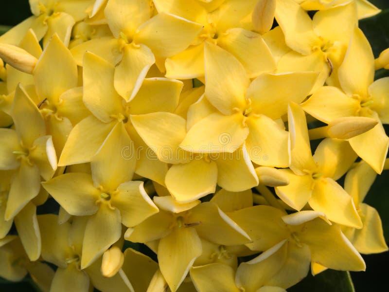 Floración amarilla de las flores de Ixora foto de archivo