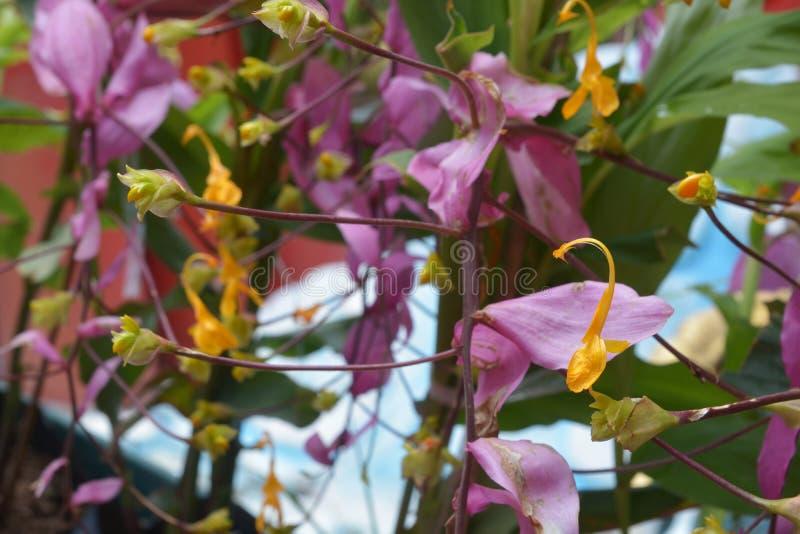 Floración amarilla de las flores del globba imagen de archivo