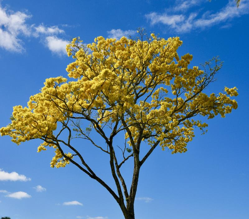 Floración amarilla del árbol de ducha de oro en la isla de Hawaii imagen de archivo