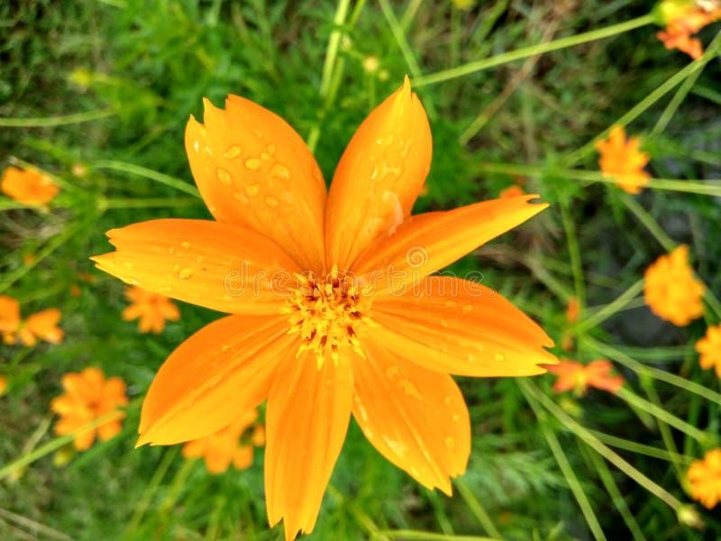 Floración anaranjada de las flores después de la lluvia imágenes de archivo libres de regalías