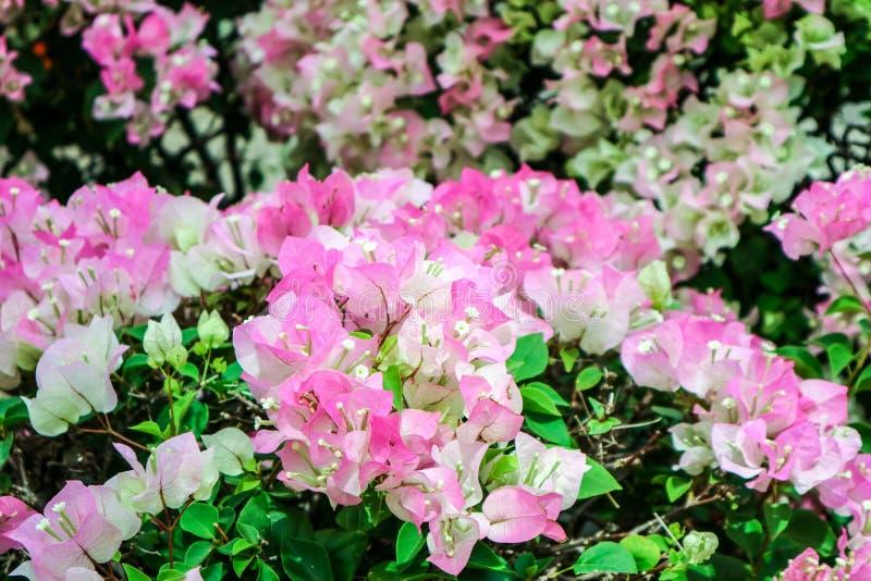 floración blanca de la flor del color de tono del rosa dos de la buganvilla foto de archivo