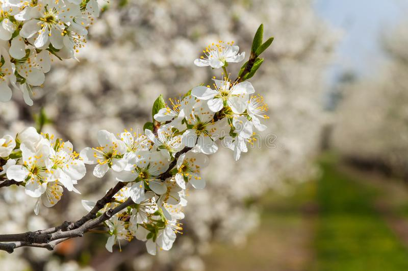Floración blanca de las flores del ciruelo de la primavera estacional Flor de la huerta del ciruelo en Polonia fotos de archivo