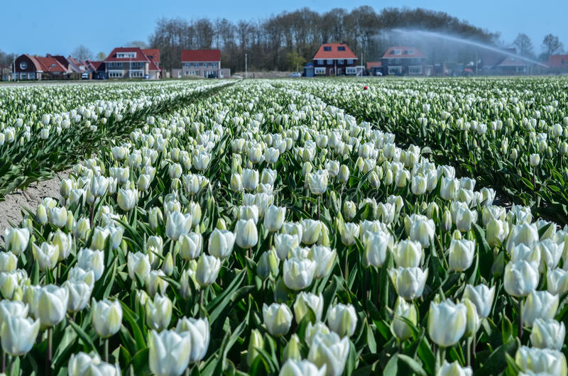 Floración blanca de los tulipanes fotos de archivo libres de regalías