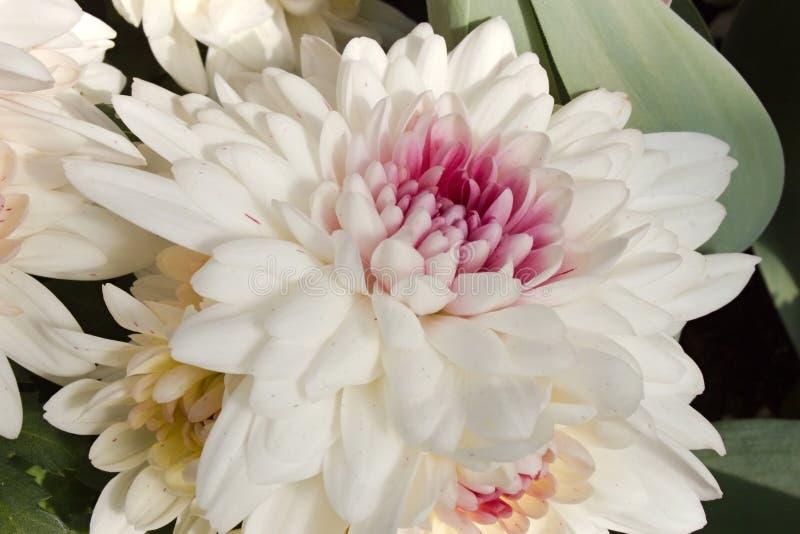 Floración blanca del crisantemo fotografía de archivo libre de regalías