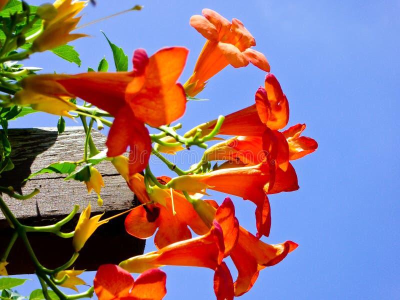 Floración china de la enredadera de trompeta fotografía de archivo