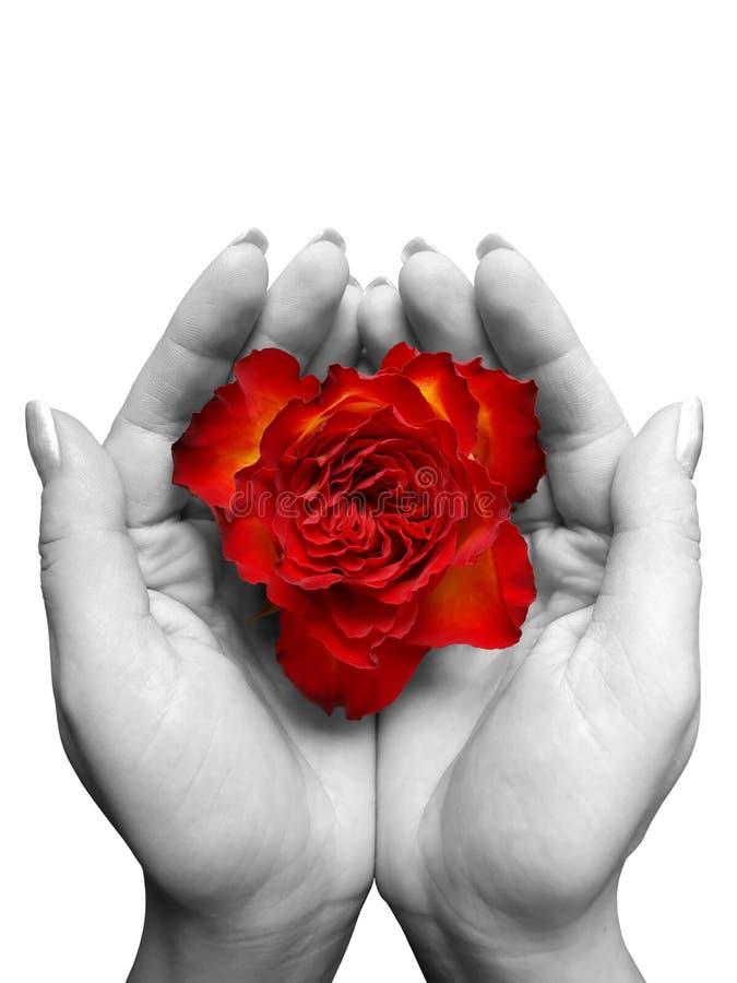 Floración color de rosa del rojo en las manos imagen de archivo libre de regalías