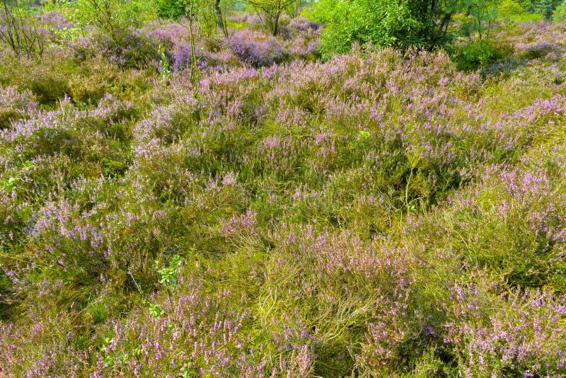 Floración común de Heather fotos de archivo