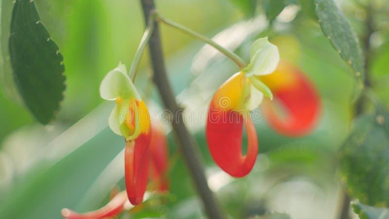 Floración común tropical de la cacatúa de Congo del nombre de África, simplemente loro del niamniamensis de los impatiens de la p imagen de archivo