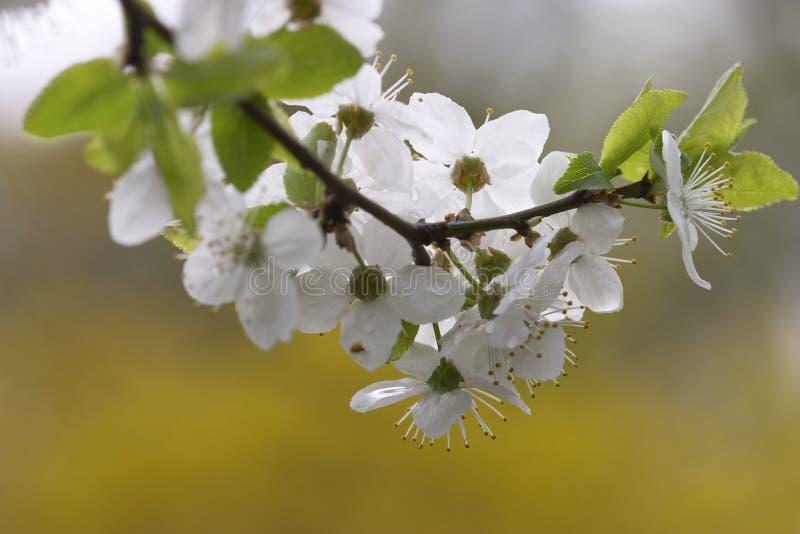 Floración de Apple fotos de archivo