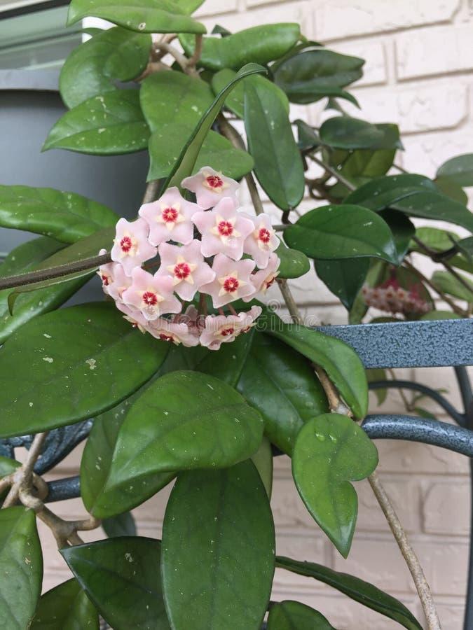 Floración de Hoya fotos de archivo
