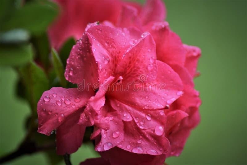 Floración de la azalea después de la lluvia fotografía de archivo