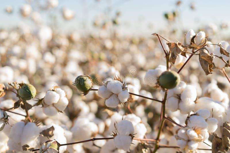 Floración de la bola de algodón plena - imagen de la cosecha de la granja de la agricultura fotos de archivo libres de regalías