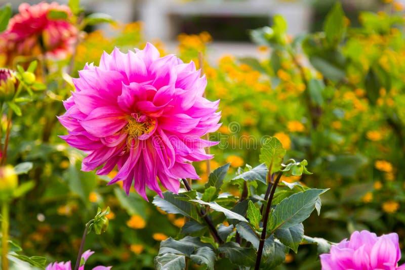 Floración de la flor Dahlia Blooming rosada en el jardín imágenes de archivo libres de regalías