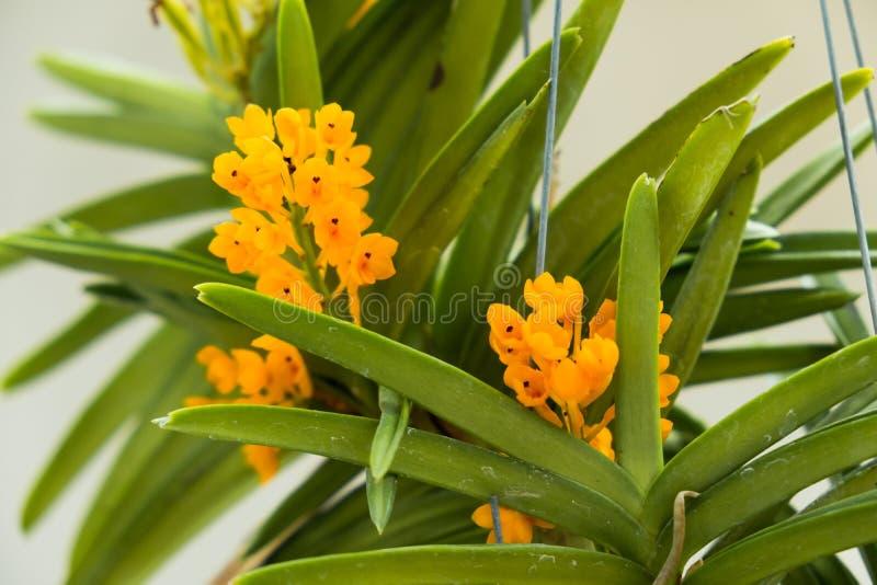 Floración de la flor de la orquídea en el jardín es uso hermoso de la flor para adorna el hogar, jardín para la sensación románti imagen de archivo