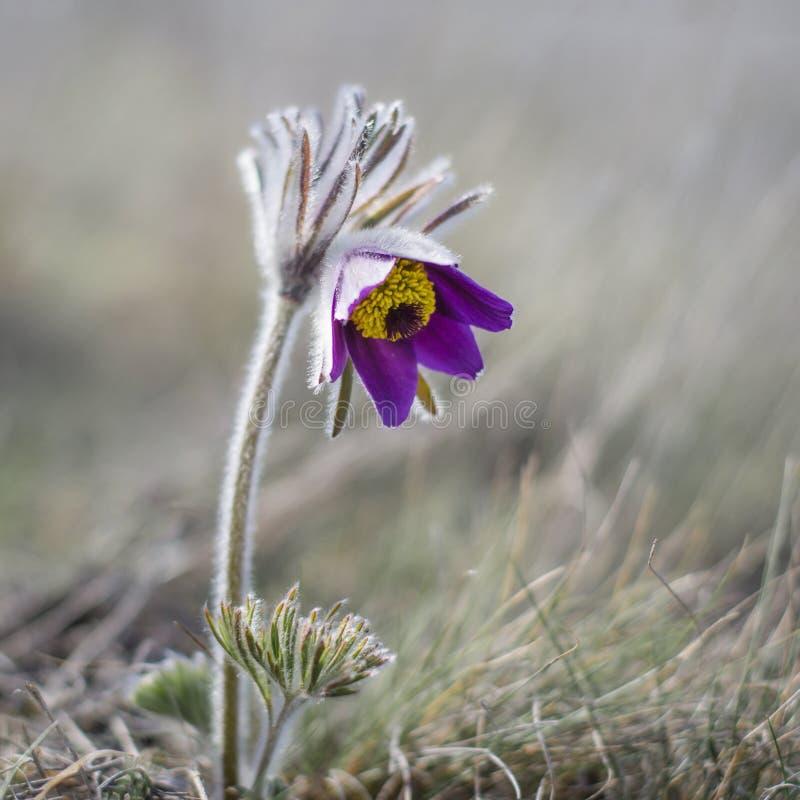 Floración de la flor de Pasque imagenes de archivo
