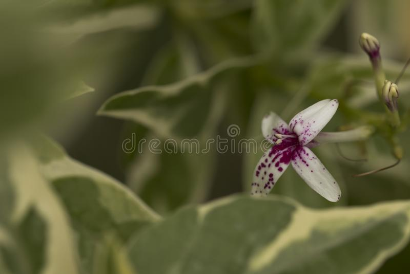 Floración de la flor poco rosada y blanca fotos de archivo