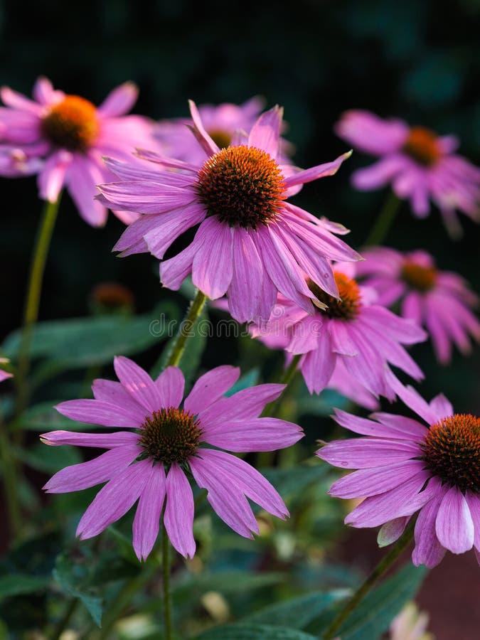 Floración de la planta del Echinacea fotos de archivo