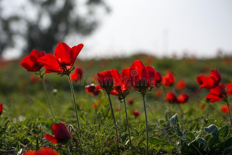Floración de las anémonas foto de archivo