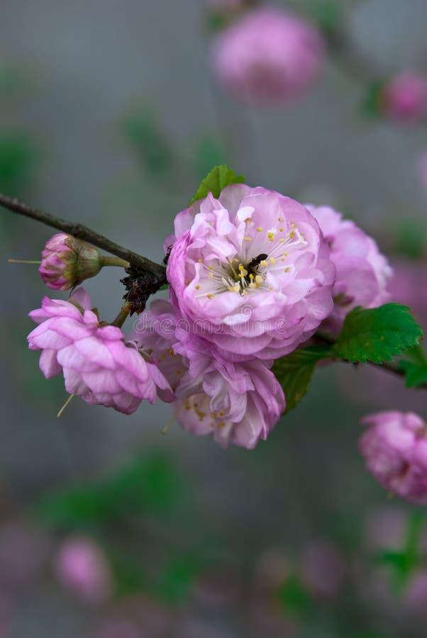 Floración de las flores de Sakura fotos de archivo