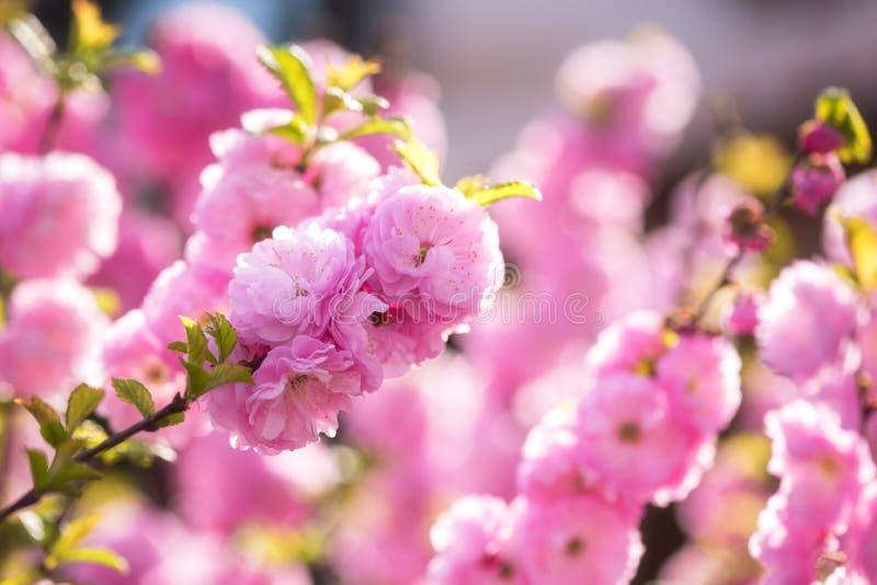 Floración de las flores del rosa de la almendra en jardín de la primavera, fondo natural para el papel pintado fotos de archivo libres de regalías