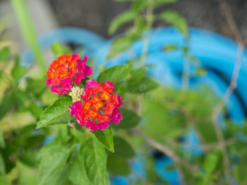 Floración de las flores del seto del amarillo anaranjado y del rosa imagenes de archivo