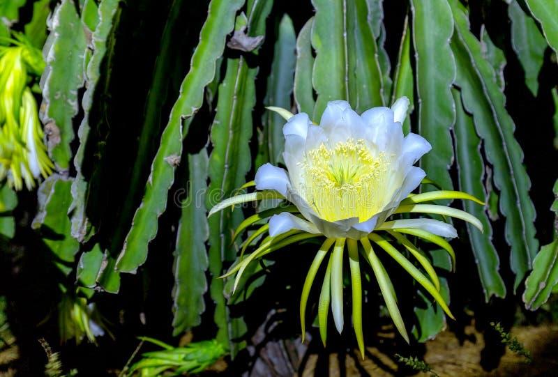 Floración de las flores en dragón del claro de luna fotos de archivo libres de regalías