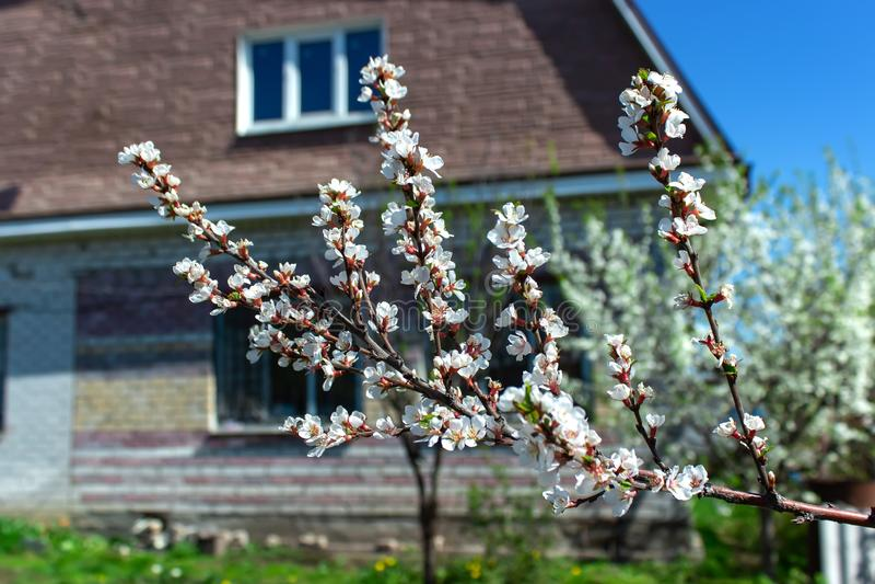 Floración de las flores de la cereza en primavera, fondo estacional natural Pueblo ruso imagen de archivo libre de regalías