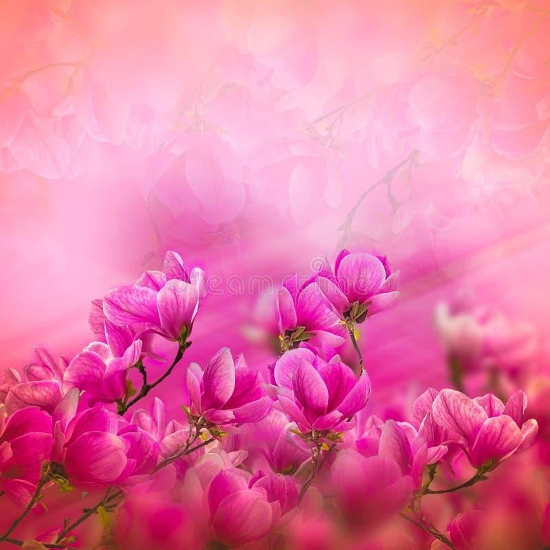 Floración de las flores de la magnolia en tiempo de primavera imágenes de archivo libres de regalías