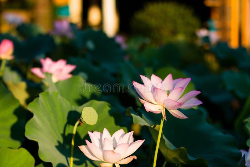Floración de las flores de Lotus en el parque imagen de archivo libre de regalías