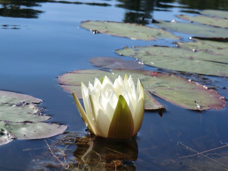 Floración de Lilypad fotos de archivo