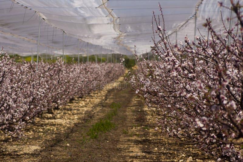 Floración de los árboles de melocotón imagen de archivo