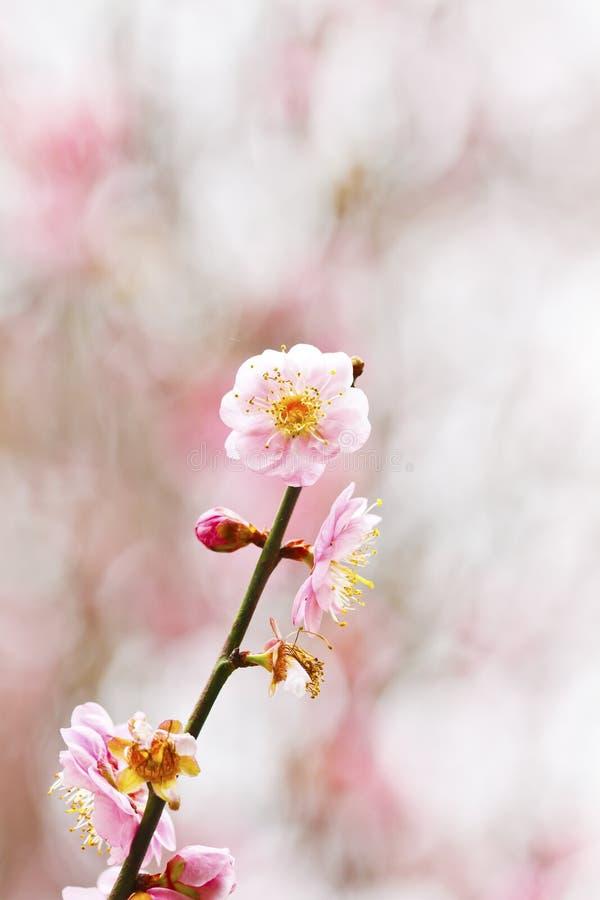 Floración de los flores del ciruelo fotos de archivo