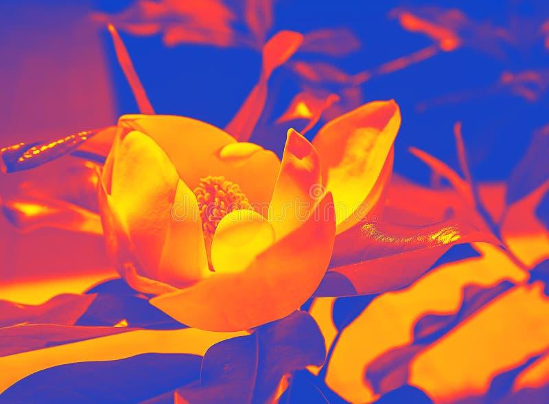 Floración de moda colorida de la magnolia del diseño en un fondo coralino, amarillo y azul rosado del verano del duotone Efecto d stock de ilustración