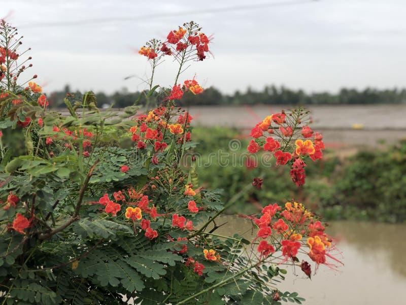 Floración de RiceField fotografía de archivo libre de regalías