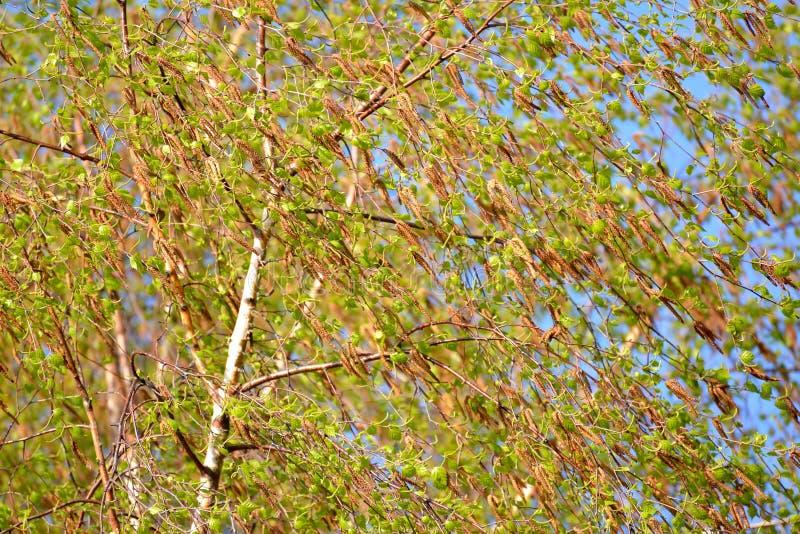 Floración de un abedul de povisly y x28; warty& x29; y x28; Betula Pendula Roth y x29; fotografía de archivo