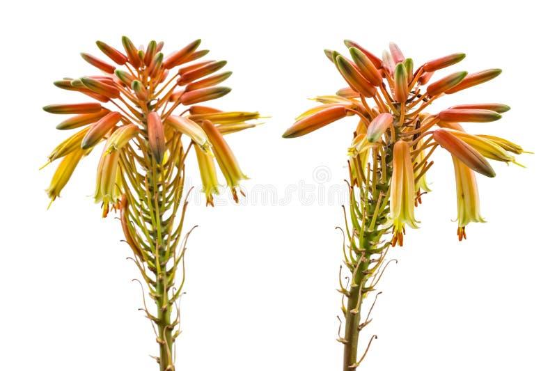 Floración de vera del áloe imagen de archivo