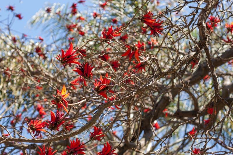 Floración del árbol coralino imagen de archivo